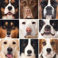 Самые сильные породы собак
