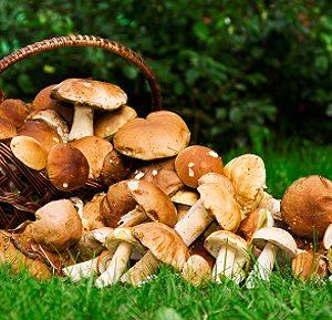 Boletus edulis - Белый гриб