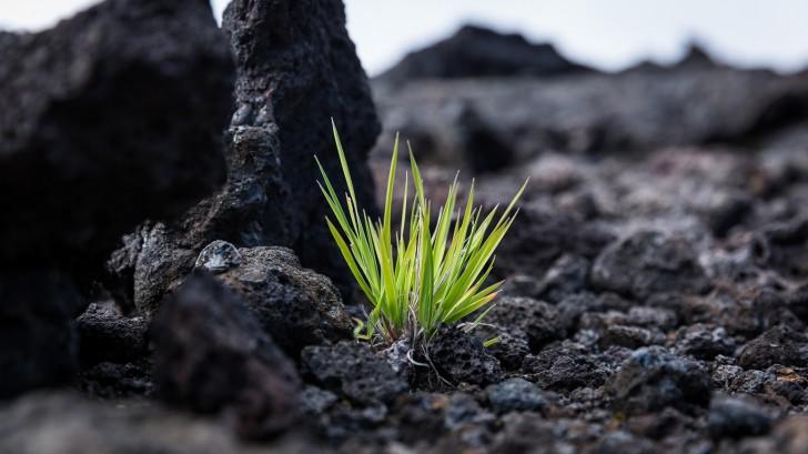 Растения среди молодой вулканической породы