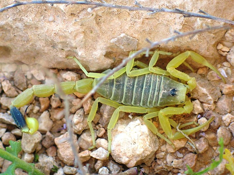 Жёлтый скорпион «смертельный охотник»
