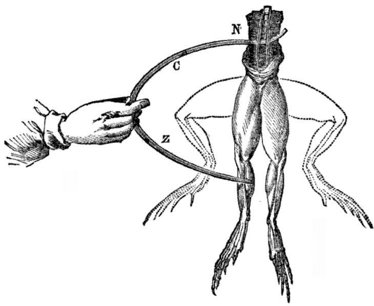 Эффект галиванизма на теле лягушки