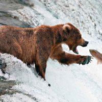 «Неделя жирного медведя» — необычный конкурс в парке Катмай