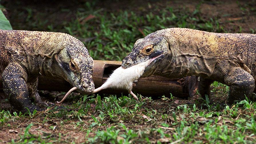 Комодские вараны