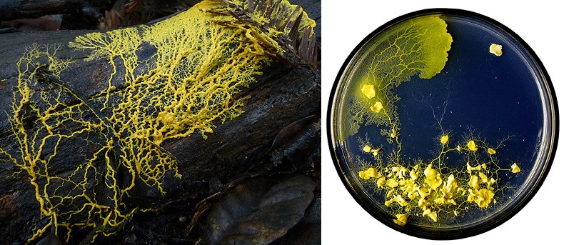 Physarum polycephalum - «многоголовая слизь»