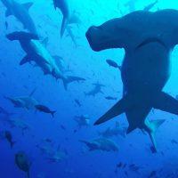 Самые необычные акулы и скаты на грани вымирания