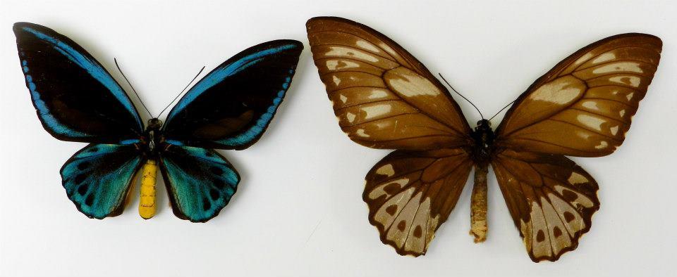 птицекрылка королевы Александры (лат. Ornithoptera alexandrae)