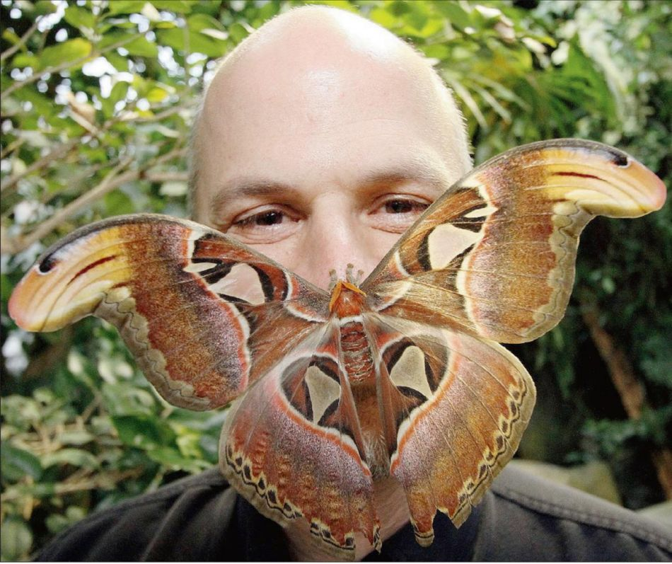 павлиноглазка атлас (лат. Attacus atlas)