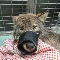 Спасенная в Эстонии собака оказалась волком)