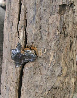 Застрявший в дереве фрагмент Сихотэ-Алинского метеорита