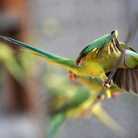 Попугаи-наркоманы опустошают маковые фермы в Индии