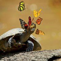 Почему бабочки пьют слёзы черепах?