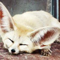 Животные с самыми большими ушами
