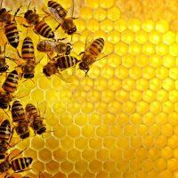 Как пчёлы формируют коллективный иммунитет