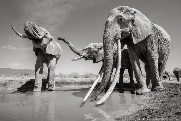 Редкие фото невероятной королевы слонов