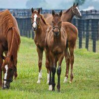 Сколько стоит чистокровная верховая лошадь? ?