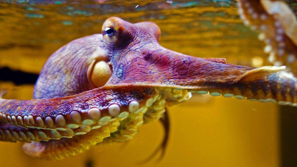Цветные сновидения осьминога Хейди