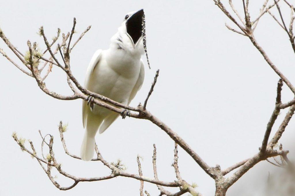 Одноусый звонарь – самая громкая птица в мире