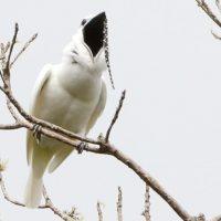Одноусый звонарь – самая громкая птица в мире ?