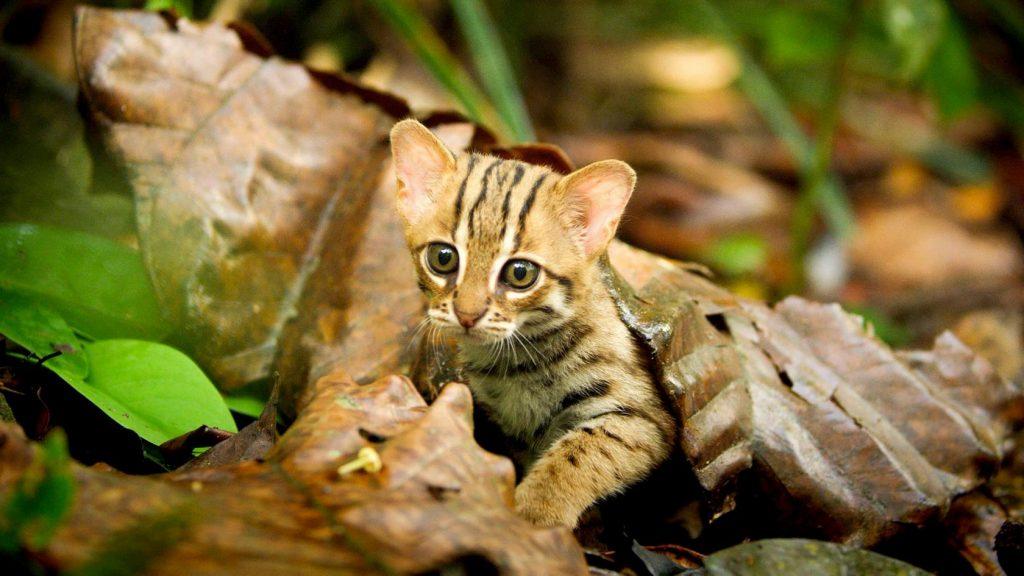 Ржавая кошка: самый маленький представитель семейства кошачьих