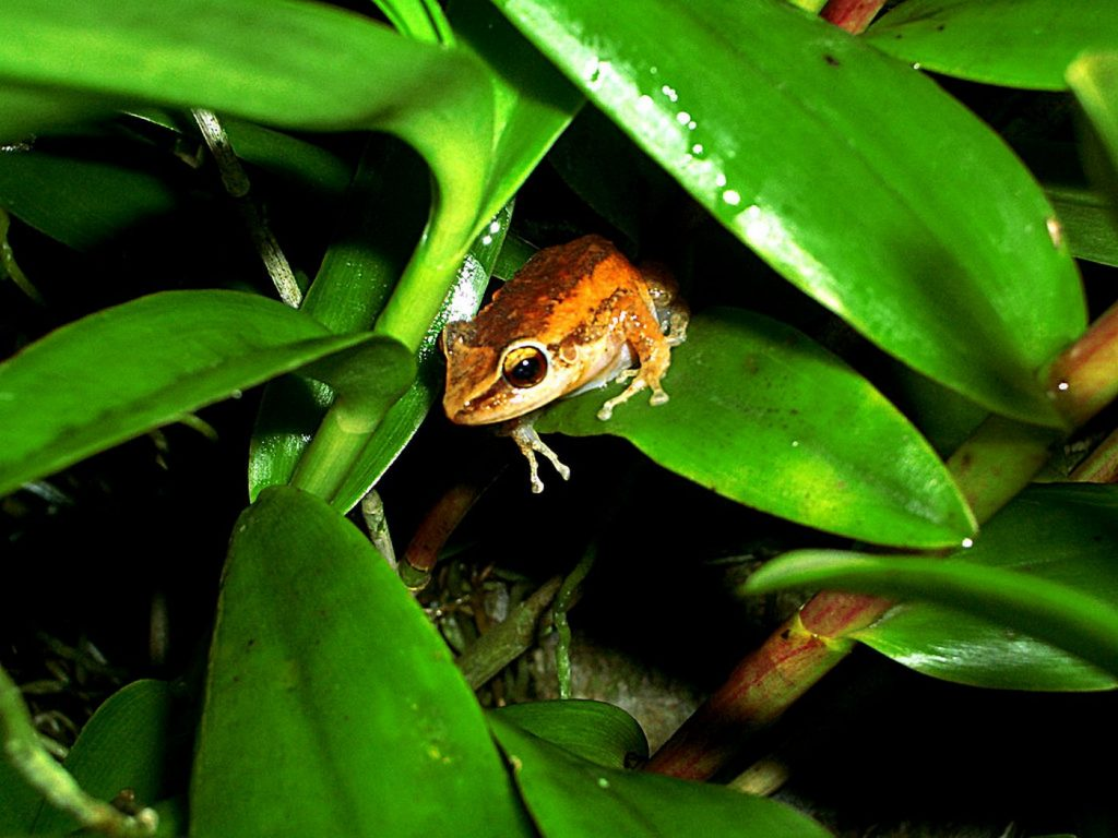 Коки – символ Пуэрто-Рико и проклятие Гавайев