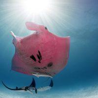 Инспектор Клузо – единственный в мире розовый морской дьявол