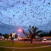 Австралийский Ингем захватил торнадо из летучих мышей