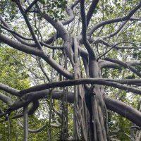 ТиммаммаМарриману – дерево с самой большой кроной в мире