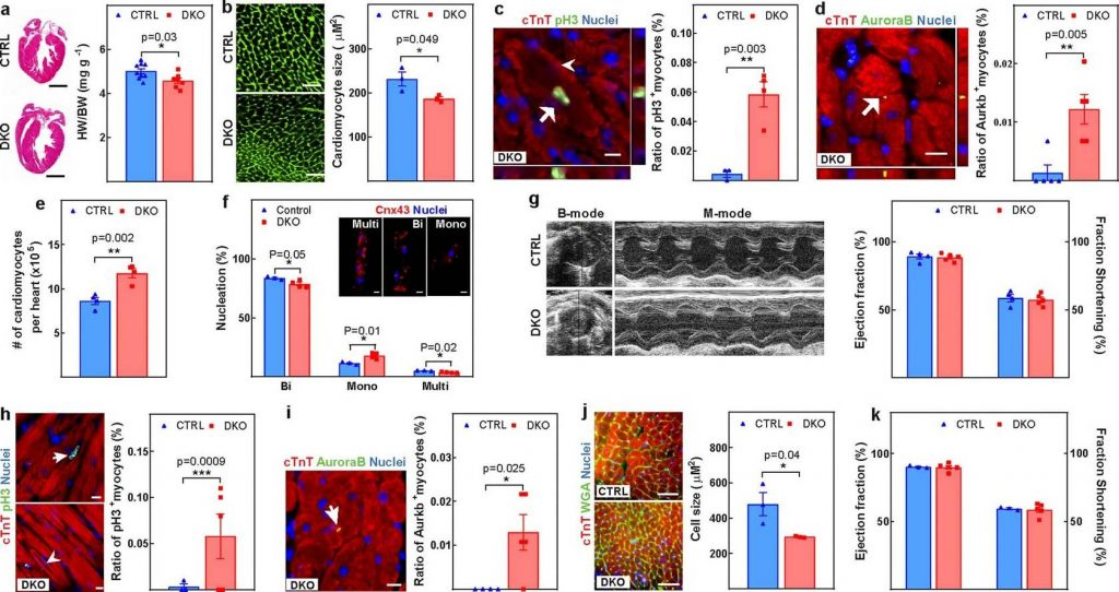 Учёные научились запускать процесс регенерации сердечной мышцы
