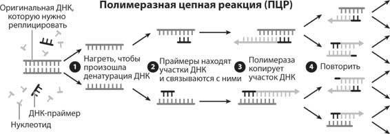 ПЦР: история развития метода полимеразной цепной реакции