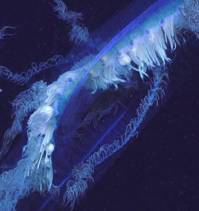 Apolemia siphonophore: самое длинное живое существо