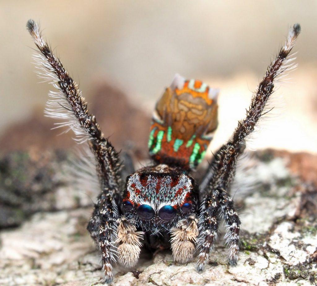 Новые виды пауков-скакунов в роду Maratus