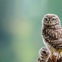 Совы: интересные факты о представителях отряда совообразных