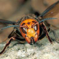 Vespa mandarinia: шершень-убийца в Северной Америке