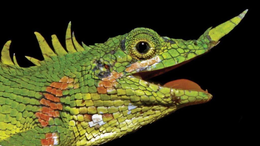 Учёные обнаружили ящериц Harpesaurus modiglianii, которых не видели более ста лет