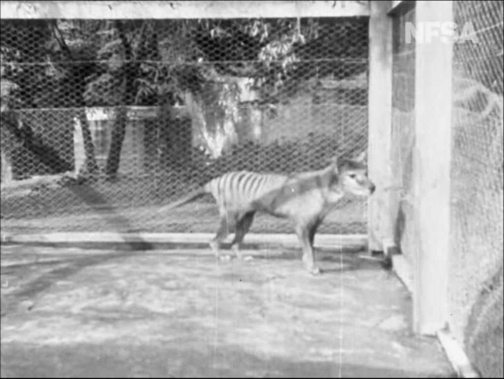 Тасманский волк «ожил» на архивных кадрах фильма «Tasmania the Wonderland»
