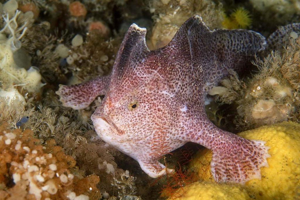 RIP, гладкий хендфиш: в Тасмании вымерла самая странная рыба