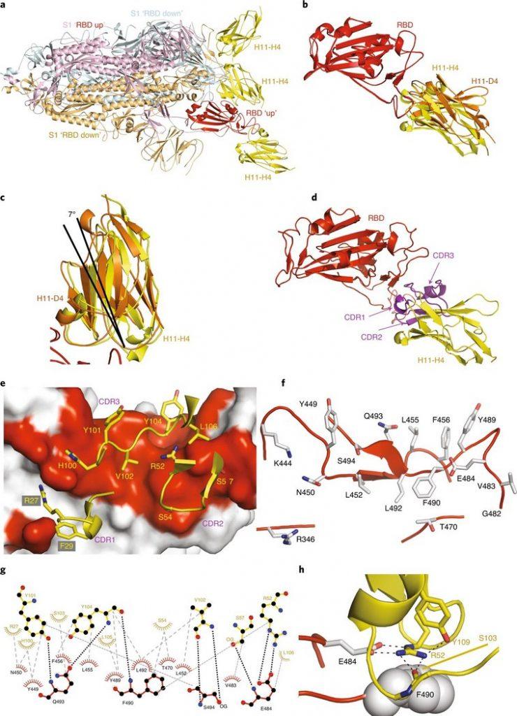 Антикоронавирусные нанотела из иммунных клеток лам