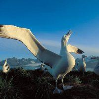 Альбатрос: любопытные факты о крупнейших морских птицах