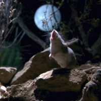 Кузнечиковые хомячки – волки в шкуре грызуна
