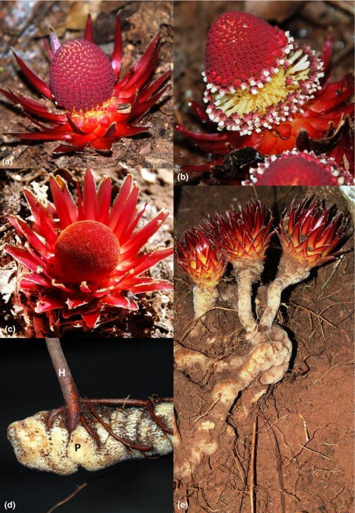 Langsdorffia: удивительное растение-вампир