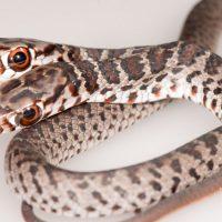 Во Флориде нашли двухголовую змею