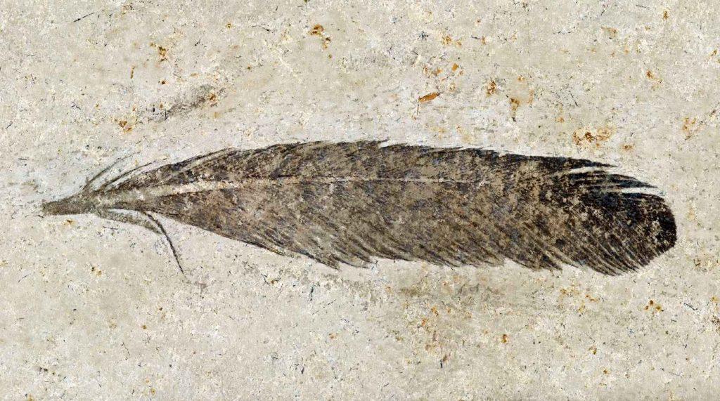 Учёные подтвердили, что древнейшее ископаемое перо принадлежало Археоптериксу