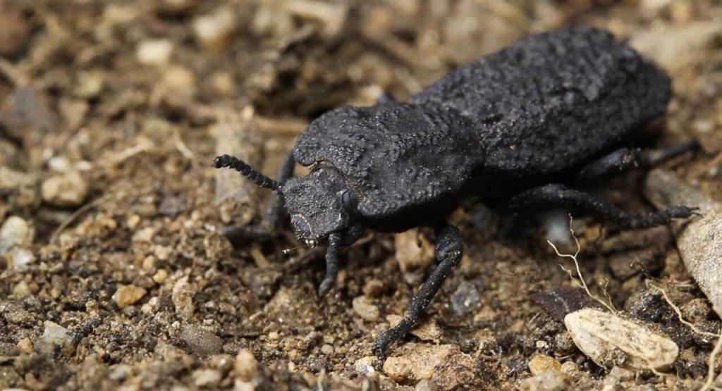 Phloeodes diabolicus: учёные раскрыли секрет «дьявольского жука»