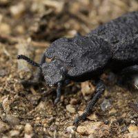 Phloeodes diabolicus: учёные раскрыли секрет прочности «дьявольского жука»