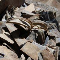 Камуфляжный Рябчик Делавэя: как растения защищаются от людей