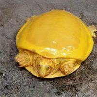 В Индии обнаружили необычную «золотую» черепаху