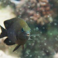 Рыбы Stegastes diencaeus одомашнили рачков мизид