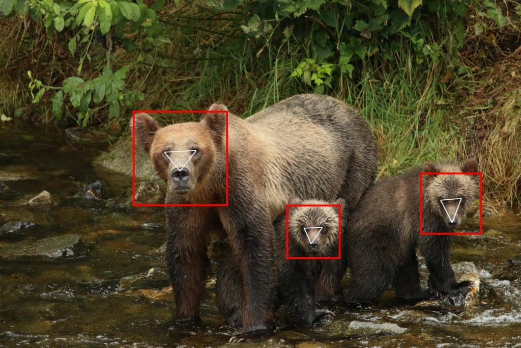 BearID: искусственный интеллект знает зверя в лицо