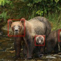 BearID: искусственный интеллект знает зверя в лицо 🐻