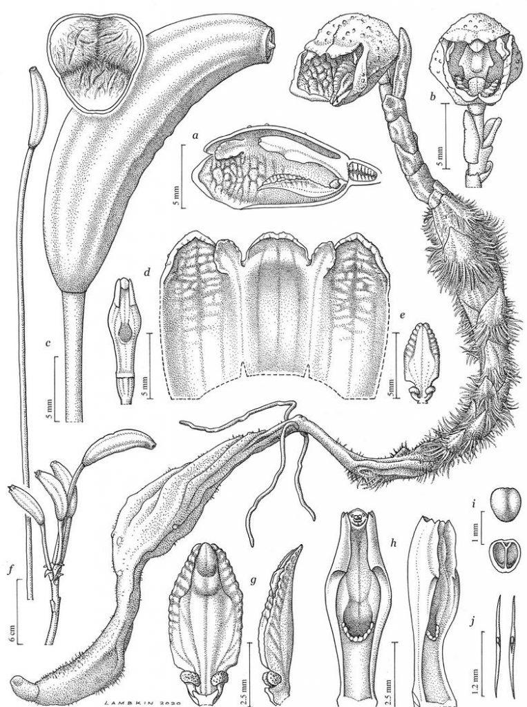 Gastrodia agnicellus – самая уродливая орхидея